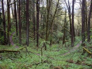 799px-Forest_park_wildwood_trail_lazy_bend_P3861