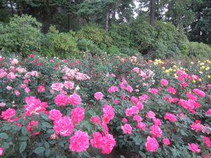 International_Rose_Test_Garden_in_Portland,_Ore._(2013)_-_04