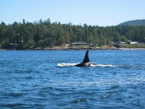 Killer whale off the shore of Victoria, BC