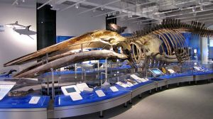 The skeleton of a blue whale on display at the Canadian Museum of Nature
