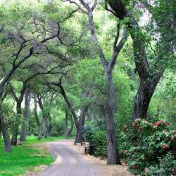 Oak Forest at the Descanso Gardens