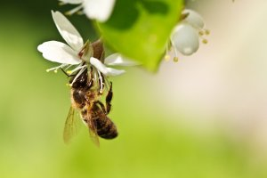 A honey bee on a cherry