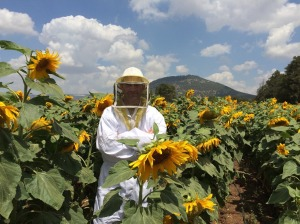 Dvorat Hatavor beekeeper in a sunflower field at the foot of mount Tabor